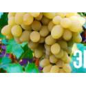 Виноград Бристоль мускат